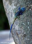 Blue-headed tree agama (Acanthocerus atricollis)