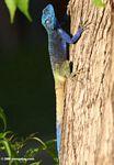 Agama de cabeza azul (Acanthocerus atricollis)