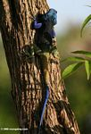The spledidly colored Blue-headed tree agama (Acanthocerus atricollis)