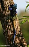 Blue-headed tree agama (Acanthocerus atricollis), viewed from the back