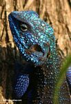 Headshot of the colorful blue-headed tree agama (Acanthocerus atricollis)