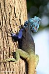 Male blue-headed agama on a tree looking away from the camera