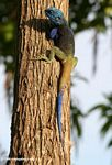 Male blue-headed agama (Acanthocerus atricollis) on a tree