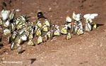 Belenois creona butterflies feeding on minerals and moisture in a dirt road