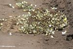 Hundreds of Belenois creona (the African Caper) butterflies feeding on a pile of elephant dung