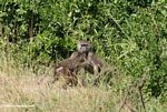 Mother baboon protecting baby