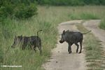 Pair of warthogs walking on a road