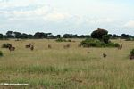 Waterbuckand warthogs on the Ugandan savanna