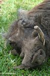 Warthog sleeping on grass
