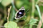 Dark brown to black butterfly with purple, red, and pale yellow markings