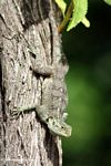 Green tree Agama on a tree trunk