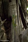 Chameleon climbing a tree trunk