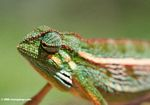 Montane Side-striped Chameleon (Chamaeleo ellioti) looking ahead