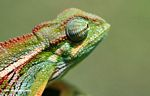 Chamaeleo ellioti chameleon looking straight ahead