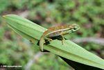 Elliot's Chameleon (Chamaeleo ellioti) on a plant leaf