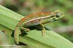 Montane Side-striped Chameleon (Chamaeleo ellioti) resting on a leaf