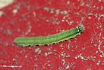 Green caterpillar with blue striped and yellow spots on a red background