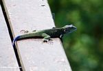 Blue-headed tree agamid