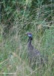 Helmeted guineafowl (Numida meleagris) hidden among savanna grass