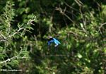 Grey-headed kingfisher, Halcyon leucocephala, in flight