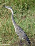 Black-headed heron (Ardea melanocephala) [immature]