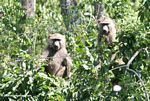 Pair of olive baboons (Papio anubis) in a tree
