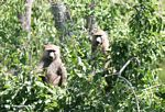 Pair of olive baboon (Papio anubis) in a tree