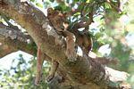 Tree climbing lion of Ishasha asleep in a Ficus tree