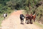 Cattle in the road in Uganda