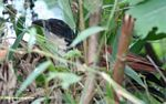 Blue-headed coucal, Centropus monachus, in a bush