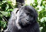 Closeup of face of female Bwindi gorilla