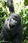 Bwindi gorilla hanging from a tree