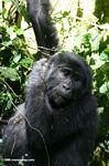 Eastern Bwindi gorilla