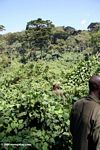 Trackers in search of gorillas in Bwindi