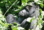 Silverback Bwindi gorilla (headshot)