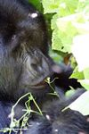 Silverback gorillas feeding on herbs