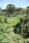 Gorilla habitat in Bwindi.  There is a silverback gorilla in the middle of this picture.  Look closely.