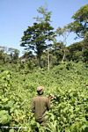 Tracker hacking with machete through stinging nettles in search of gorillas
