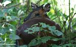Red duiker in the Bwindi rainforest