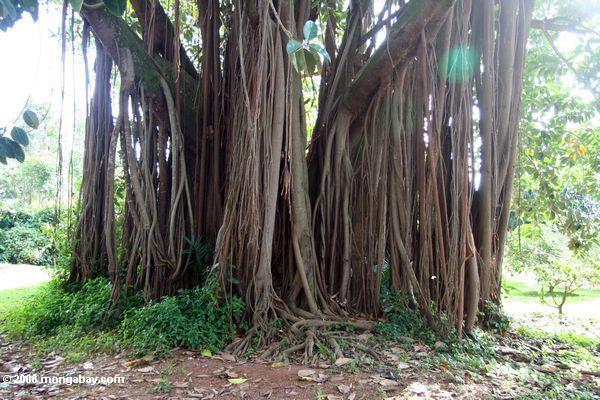 Корни Banyan Tree