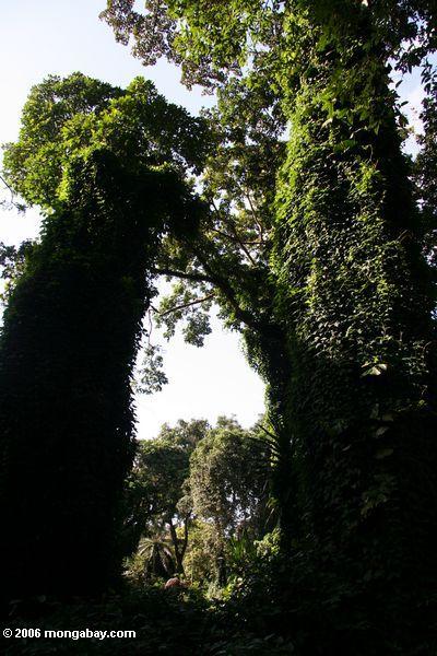 Rebe bedeckte Bäume