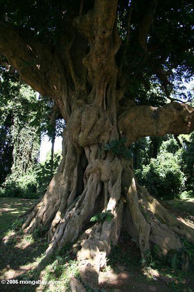 Baum des ältesten in Afrika