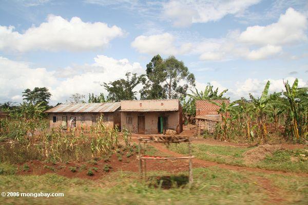 кукурузы и бананов растения вокруг дома угандийских