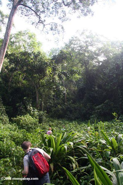 Tracking chimps in the jungles of Kibale forest in Uganda