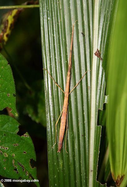 Stockinsekt auf einem grünen Blatt Kibali