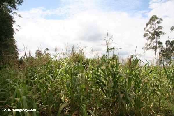 кукурузный завод в Африке