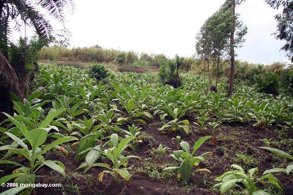 imahen: batang tabako halaman sa philippines