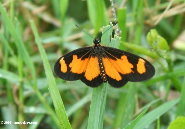 Orange und schwarzer Schmetterling auf einem Blatt des Gras