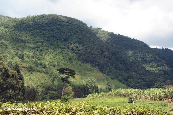 Beira da floresta Impenetrable de Bwindi