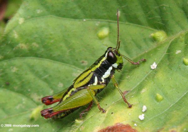 черный и белый зеленый кузнечик в Уганде